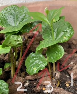Several small coffee seedlings that sprouted from fallen coffee seeds/beans.