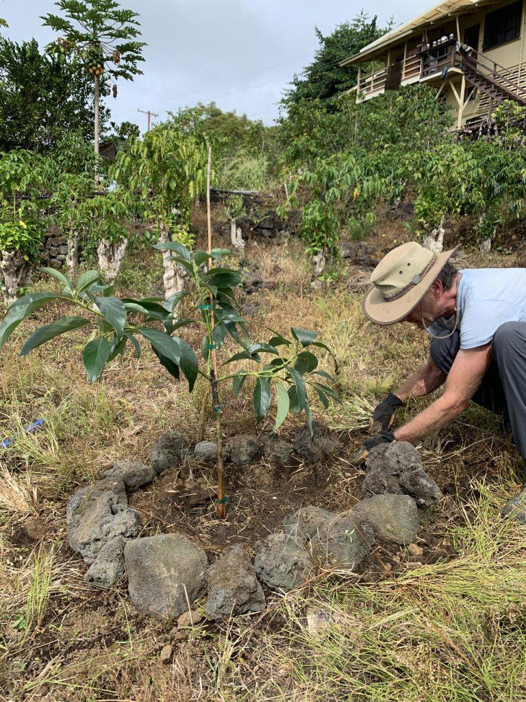Kahalu'u avocado tree.