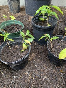 Volunteer coffee seedlings (pulapula) in pots