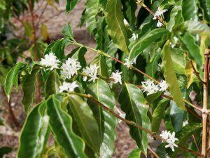 Kona coffee blossoms