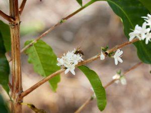 Kona coffee blossoms with a bee.