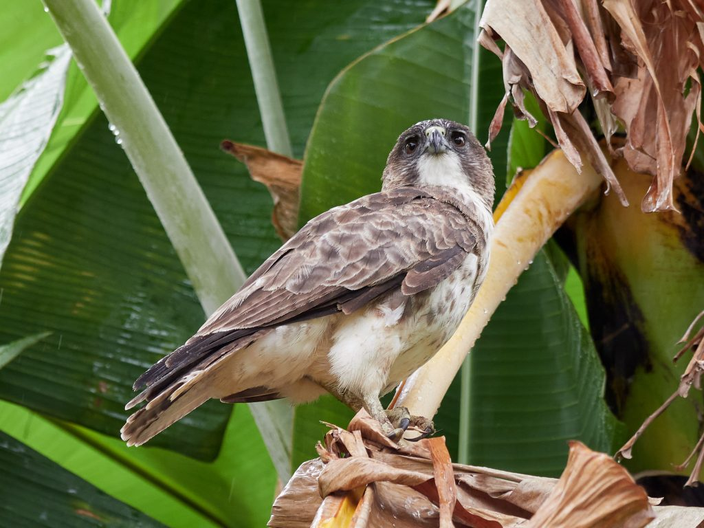 Hawaiian hawk ('io)