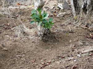 Coffee tree roots exposed by pigs rooting around. Rubber plant.