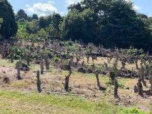 Stumped coffee trees.