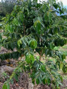 One year old coffee tree with fruit.