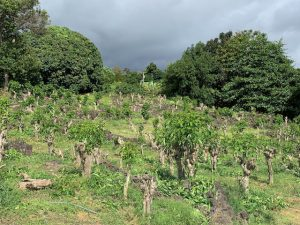 Stumped coffee trees in mid June 2021.