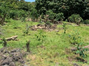 Recently planted coffee trees.
