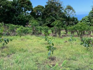 Recently planted young coffee trees.
