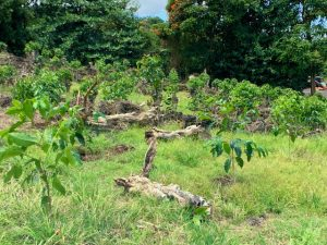 Young coffee trees near the skeletons of their elders